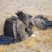 A condor in crash landing position...didn´t turn out too well for this buddy...