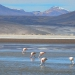 Flamingos standing and grasing ...