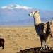 Lamas all around !
