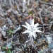 Another Edelweiss
