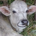 We wonder if the parents of this calf ever heard of dental braces!? Poor little thing...